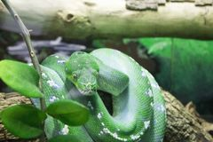 Green Tree Boa OKC Zoo Royalty Free Stock Images