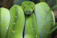 Green Tree Boa Stock Photos