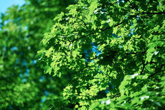 Green tree brances Stock Images