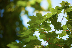 Green tree brances Royalty Free Stock Image