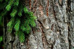 Green tree branch against a background of tree bark Royalty Free Stock Image