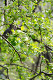 Green tree branch with buds. Spring Stock Images