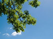 Green tree branch with clear sky background Stock Image