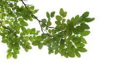 Green Tree branch closeup isolated on white Royalty Free Stock Photo