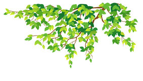 Green tree branch. Illustration of a green branch on a white background Stock Images