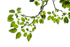 Green tree branch isolated Royalty Free Stock Image