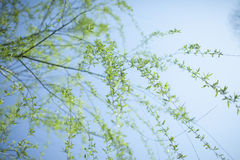 Green tree branch in spring Royalty Free Stock Photo