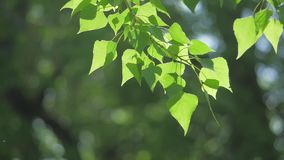 Green tree branch on a white background nature. sunlight leaves trees swaying lifestyle in the wind slow motion video. Green tree branch on white background stock footage