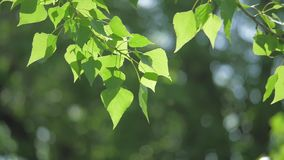 Green tree branch on a white background nature. sunlight leaves trees swaying in the wind slow motion video. spring. Green tree branch on white background nature stock footage