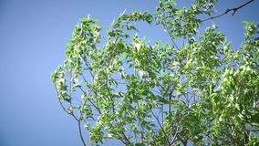 Green tree branches in the blue sky. This video shows Green tree branches in the blue sky stock video footage