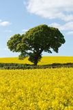 Green Tree in Bright Yellow Rapeseed Fields Stock Photography