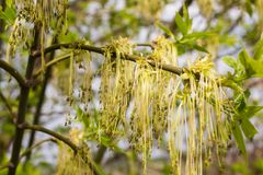 Green tree with catkins Royalty Free Stock Photography