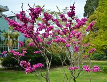 Flowering of the cercis canadensis (Judas tree) stock photo