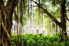 The green tree in city garden of Macau. Hanging aerial roots of the green tree in city garden of Macau. The Ruins of St. Pauls Cathedral in the background stock image