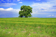 Green tree and cloudy blue sky Royalty Free Stock Image