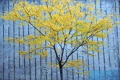 A green tree and concrete wall Royalty Free Stock Images