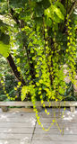 Green tree and creeper Royalty Free Stock Photo