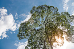 Green tree crown on blue sky background. With bright sun light, upwards view Stock Image