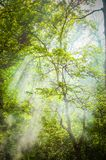 Green tree crown with a gleam of sunlight. Tall trees with branches and green leaves with sun rays that shine through the green leaves of the crown, the filter Royalty Free Stock Photo