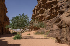 Green tree in desert. Barrah Canyon. Wadi Rum (Valley of the Moo Royalty Free Stock Images