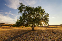 Green tree in a desert Royalty Free Stock Image