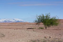 Green tree in desert with snowy mountaints Royalty Free Stock Photography