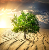 Green tree in the desert. At sunset royalty free stock photos