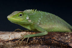 Green tree dragon. The green tree dragon, Calotes jubatus, is an spectacular arboreal agama species from Indonesia. It is pretty common,even on the crowded Royalty Free Stock Images