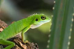 Green Tree Dragon. (Bronchocela cristatella Royalty Free Stock Image