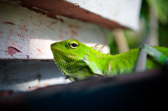 Green tree dragon Stock Photo