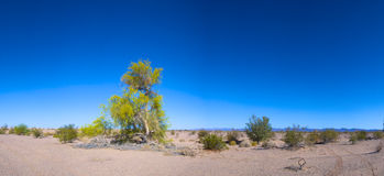 Green Tree in the Dry Desert Stock Photo
