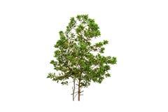 Green tree , eucalyptus tree isolated on white background. Royalty Free Stock Photo