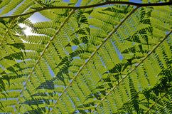 Green tree fern, Dicksonia,  foliage background. Close up of back lit overlapping tree fern fronds against a blue sky with sunlight shining through. Greenery Stock Photography