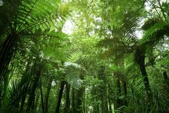 Tree ferns in jungle. Green tree ferns in tropical jungle Stock Images