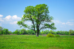 Green tree and field Royalty Free Stock Photos