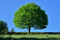 Tree. Green tree in a field on a sunny day Stock Photo