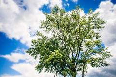 Green tree foliage in the cloudy sky Stock Images
