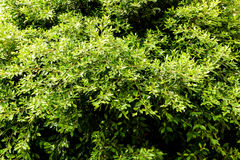 Green Tree Foliage Royalty Free Stock Images