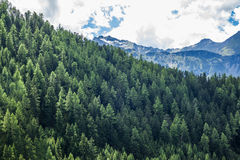 Green tree forest background, fresh pines in the Alps Stock Images