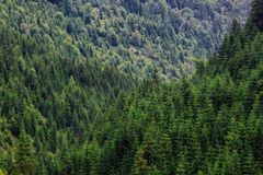 Green tree forest background. Spruce trees. Germany, Alpine, Carpathian mountains royalty free stock photos