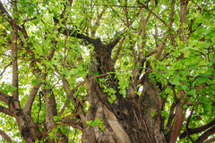 Green tree in forest Royalty Free Stock Photography