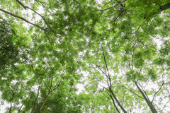 Green tree forest Royalty Free Stock Photo