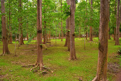 Green tree forest in Thailand Royalty Free Stock Images