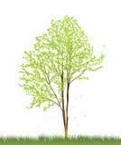 Green tree. Fresh green tree isolated on white vector illustration