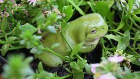Green tree frod stock video footage