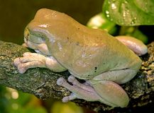 Green tree frog 1 Stock Photo