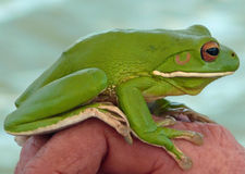 Green Tree Frog. A stunning green tree frog found in our boat on the Daintree river royalty free stock photos