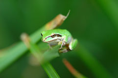 Green tree frog. A green tree frog perched on a blade of grass Royalty Free Stock Photos