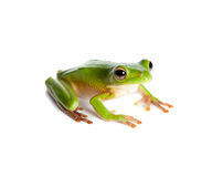 Green tree frog. Sitting white-lipped tree frog or Litoria Infrafrenata isolated on white Royalty Free Stock Photography