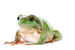 Green tree frog Royalty Free Stock Photos